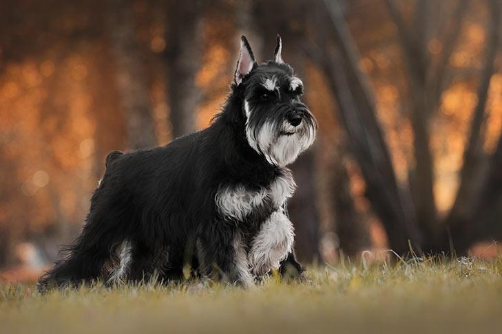 Balody 18248-9 Schnauzer Dog Sitting